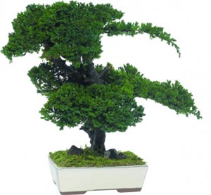 Procumbens bonsai