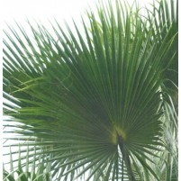 Listy palmy Washingtonia
